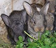Крольчонок породы Фландр, возраст 21 сутки.