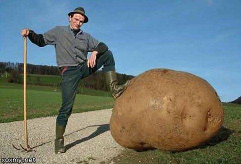 Картофель на собственном огороде, участке